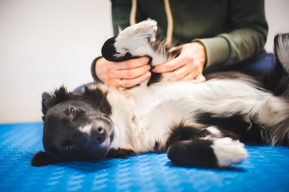 how to massage a dog with arthritis